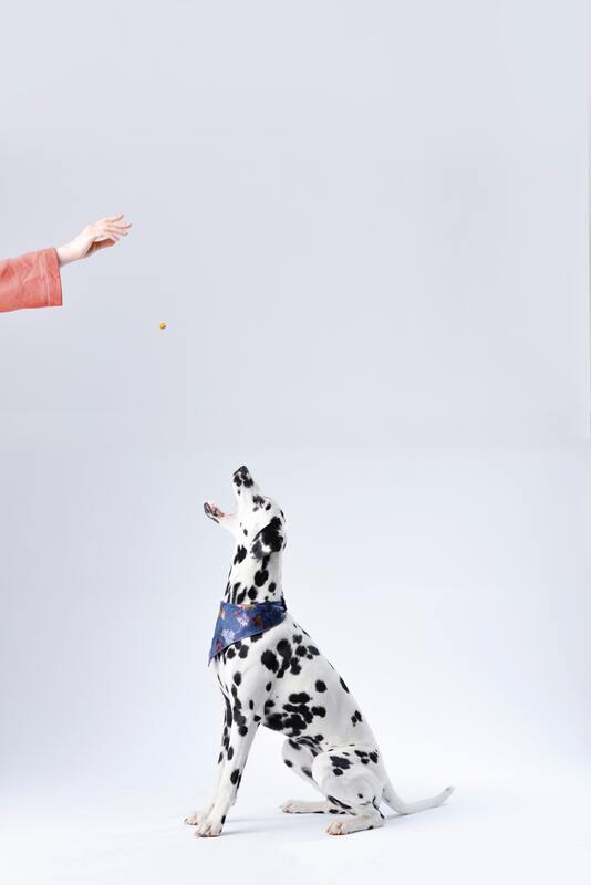 Dalmatian sitting down, being thrown a treat from the dog trainer.